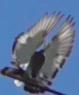 Бойные голуби Казахстана - последнее сообщение от Марков
