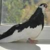 Известные заводчики чистых голубей - последнее сообщение от Tatiana Pankova