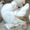 Уральские статные: желтогрудые и красногрудые. - последнее сообщение от Саввич