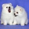 белый щенок - последнее сообщение от KINOLOG
