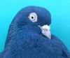 В автокатастрофе погиб голубевод из Украины Александр Лях... - последнее сообщение от Yura Aprel