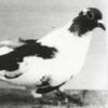 Черноголовые купцовские - свердловские чубарые - последнее сообщение от Evgen61